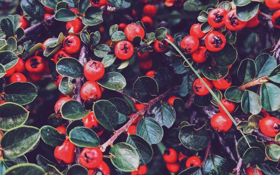 Il mirtillo rosso: per il benessere dell'intestino