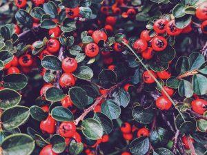 ll mirtillo rosso: per il benessere dell'intestino